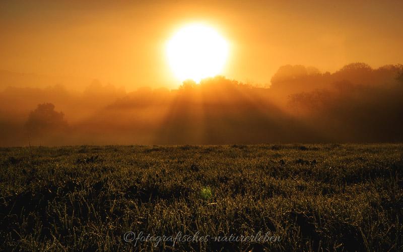 Wiese mit Morgentau bei aufgehender Sonne im Nebel