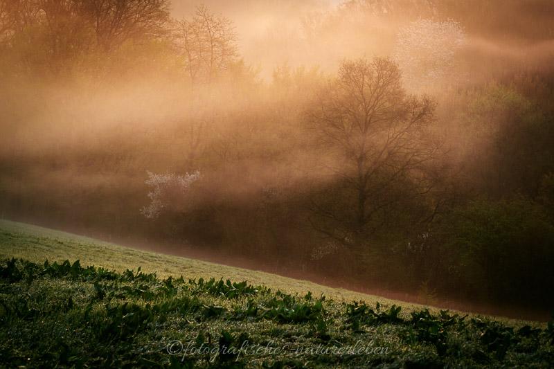 Bäume und Wiese im Morgentau, bei aufgehender Sonne in Nebel gehüllt