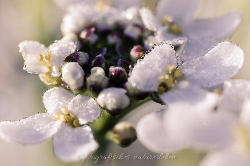 Morgentauperlen auf Blüte