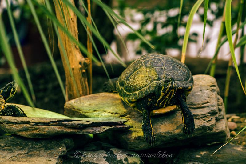 Schildkröte auf Stein im Wasser