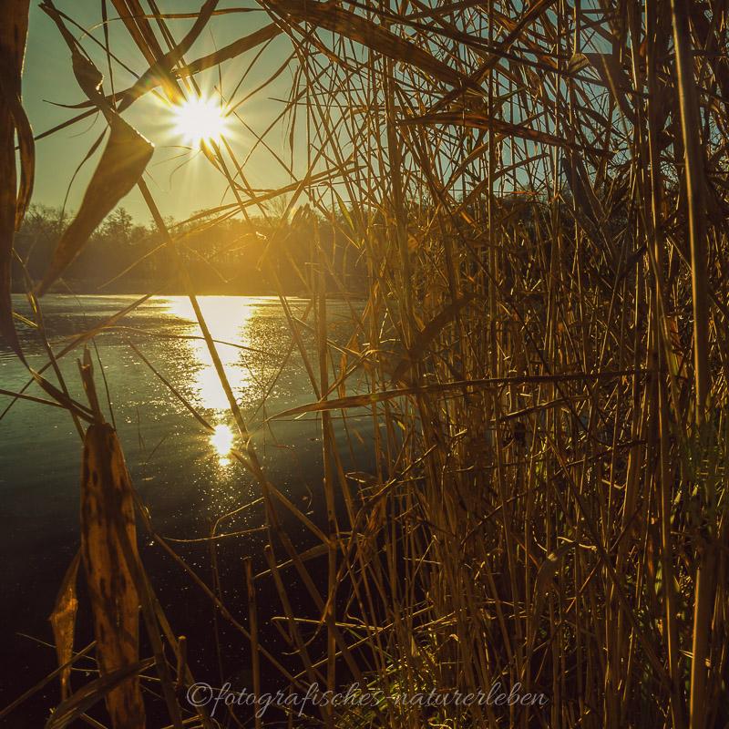 Blick durch das Schilf am gefrorenen See in die Sonne
