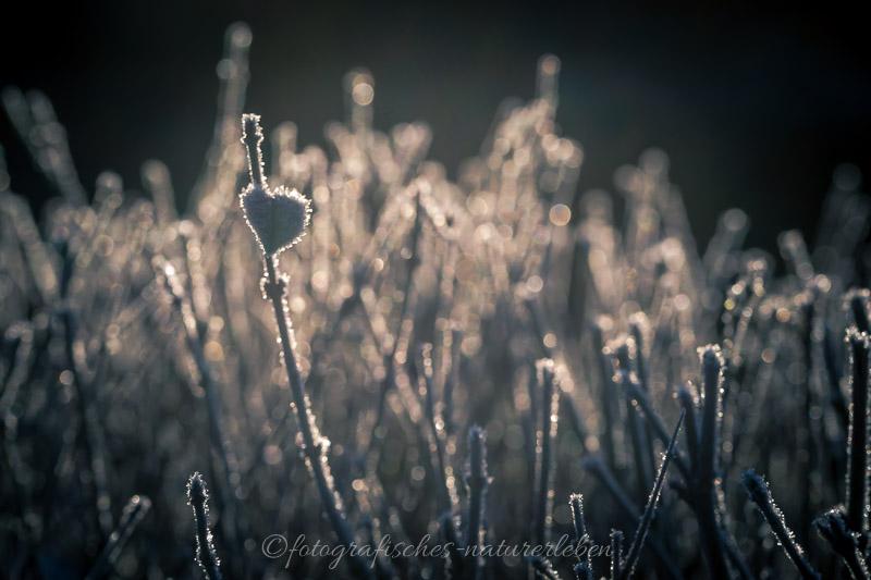 Pflanzen im Frostkleid